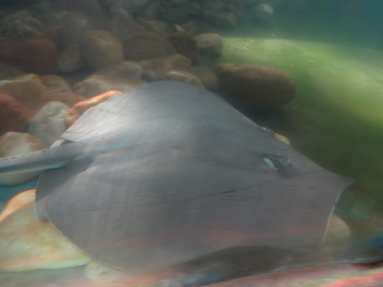 One of the stingrays finally paused for a picture