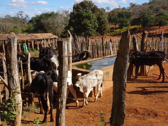 Some vacas